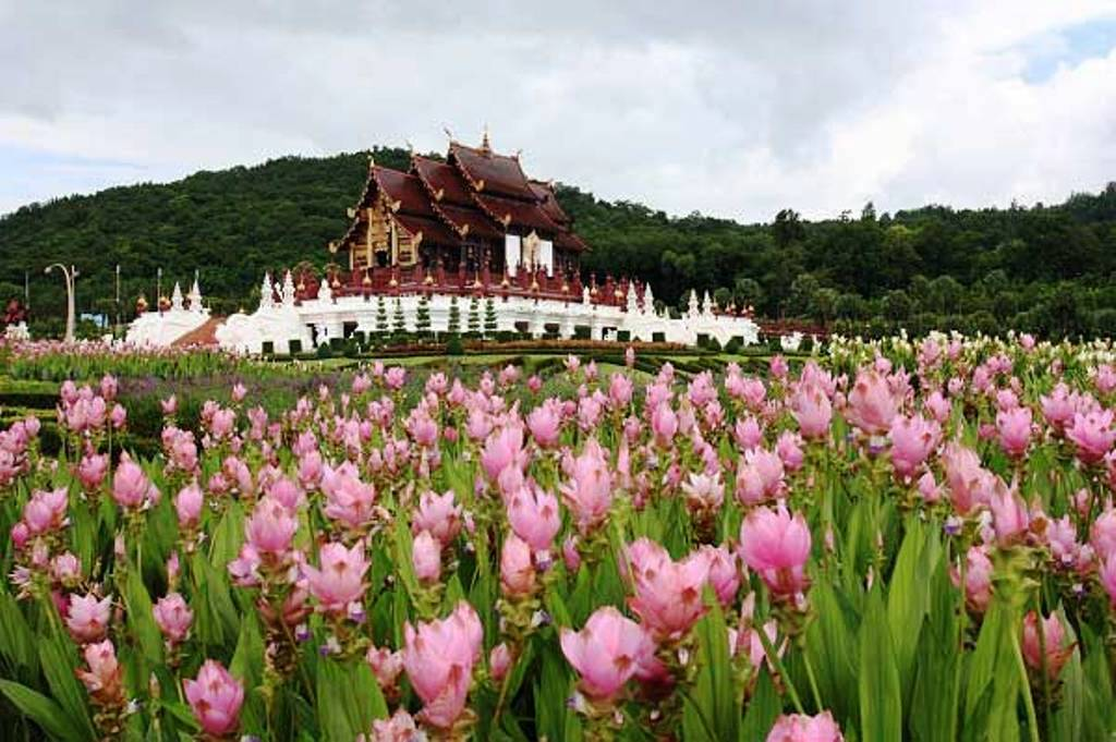 Chiang Rai's Horticulture Research Center to Showcase the Siam Tulip