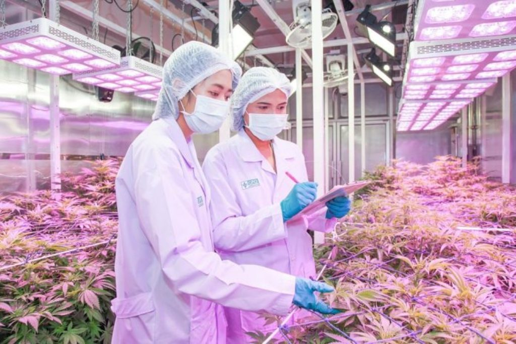 No Foreigners Will be Allowed to Grow Marijuana in Thailand