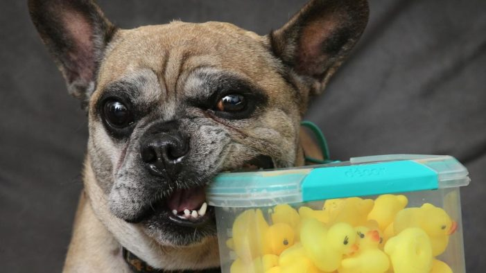 Vets Remove 32 Rubber Ducks From Dogs Stomach