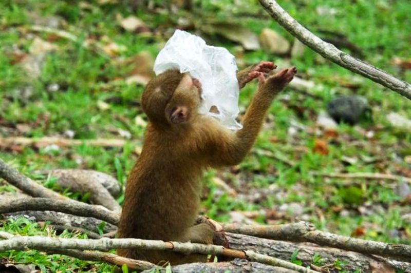A Monkey in Phuket, Thailand, have been photographed playing with plastic rubbish left by tourists in National park areas.