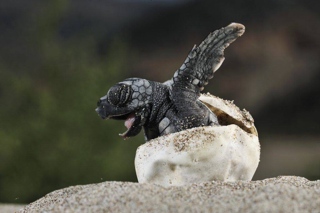 First Baby Leatherback Turtle Hatches in Southern Thailand