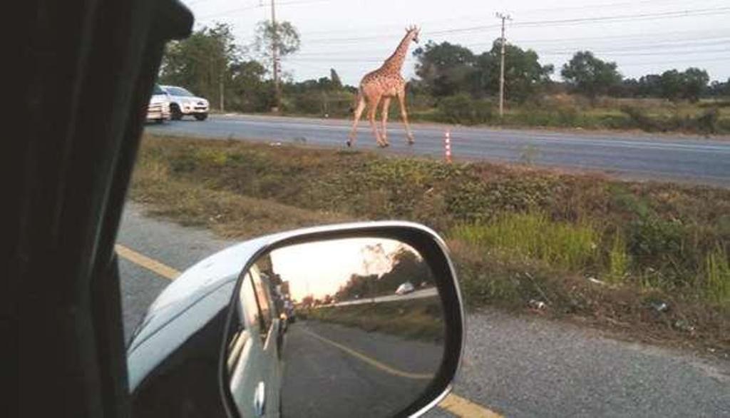 giraffe thailand