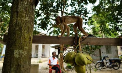 Coconut milk exports off, blame the monkeys