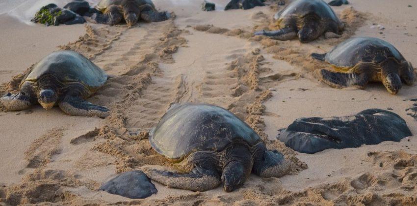 Leatherback turtles return to Phuket and Phang Nga coastlines