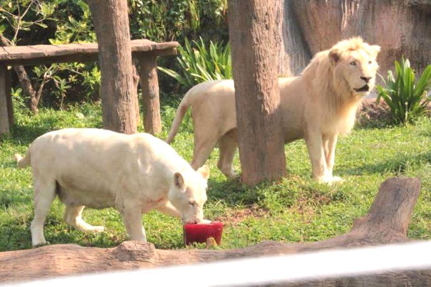 Khon Kaen Zoo Serves Up Frozen Dinners to Keep Animals Cool