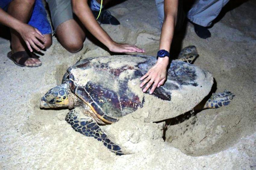 Sea Turtle, Thailand, Koh samui