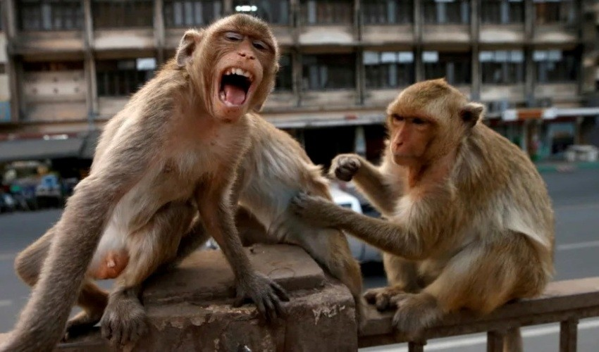 Thailand, Monkeys, Lopburi