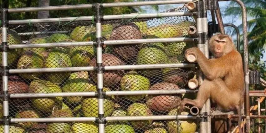 PETA,Thailand, coconuts, monkeys