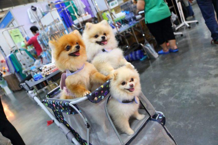 dog breeds Thailand