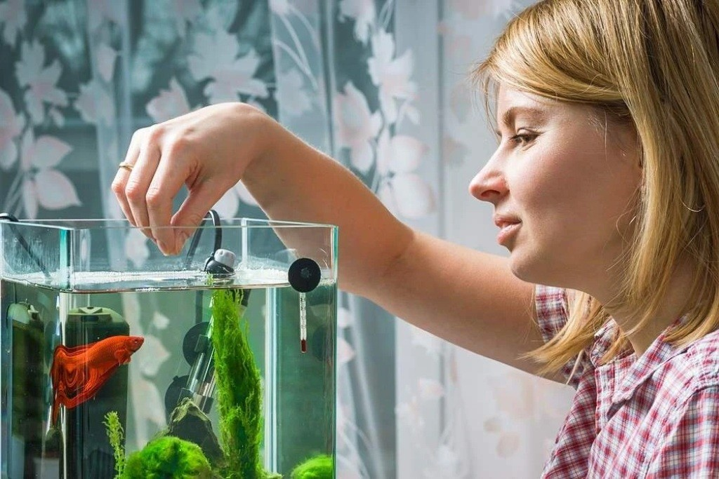 Betta, Fish, Feeding, Feed, Aquarium