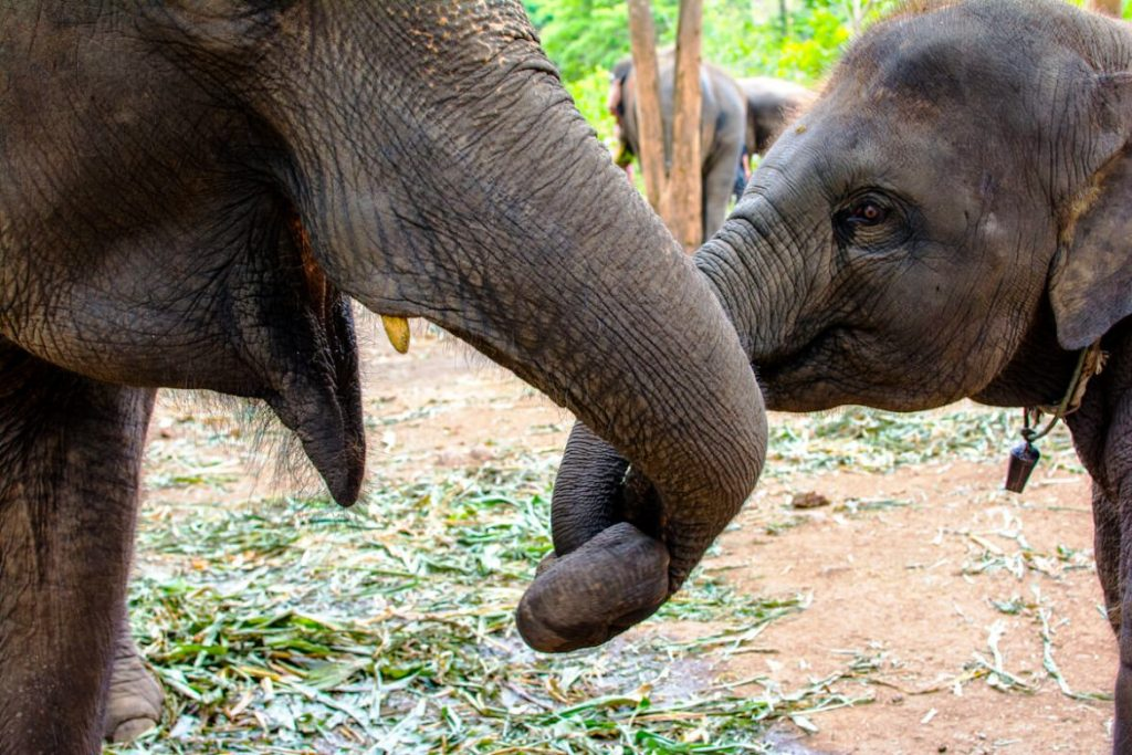 Thailand, Animal Abuse, Elephants, Monkeys