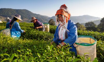 Chiang Rai Tea Win Gold in World Green Tea Competition in Japan