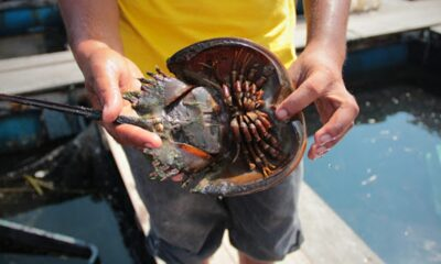 Woman Dies after Eating Mangrove Horseshoe Crab in Phuket, Thailand