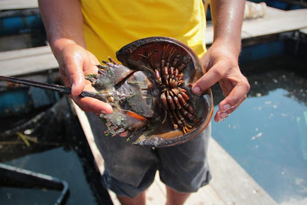 Woman Dies after Eating Mangrove Horseshoe Crab in Phuket, Thailand