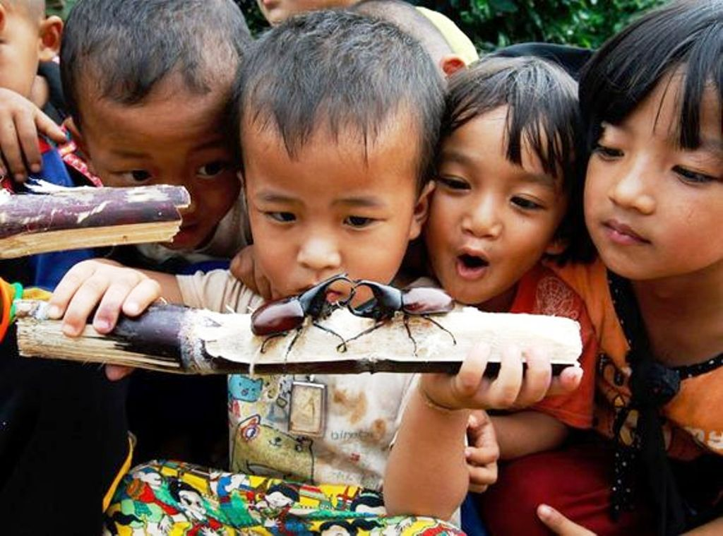 Final Rounds of Rhinoceros Beetle Battles Rage in Northern Thailand