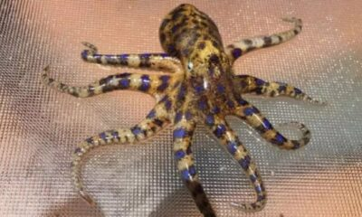 Seafood Buyers Warned after highly-Poisonous Octopus Found in Market