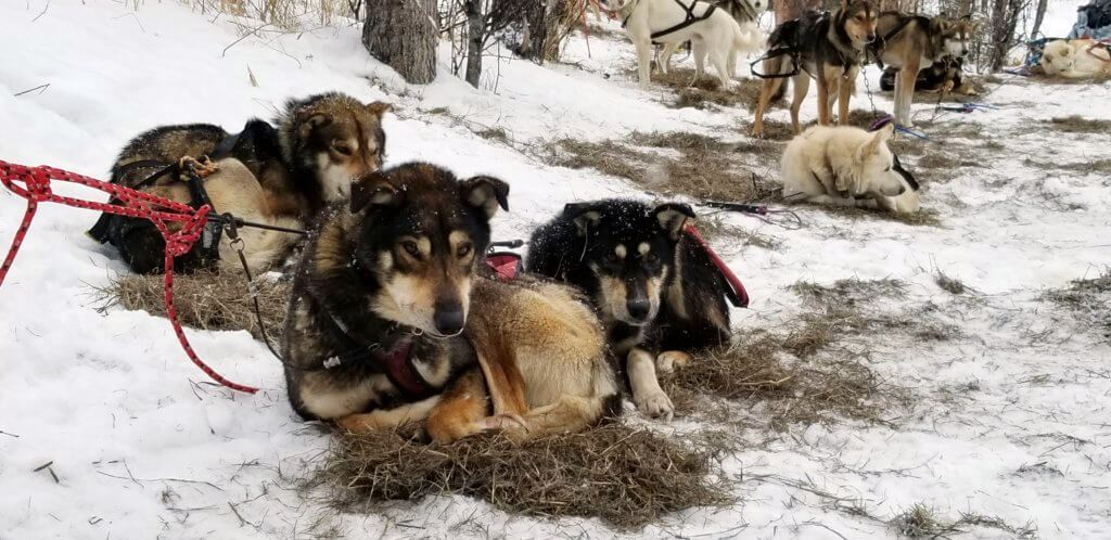 sled dogs Thailand