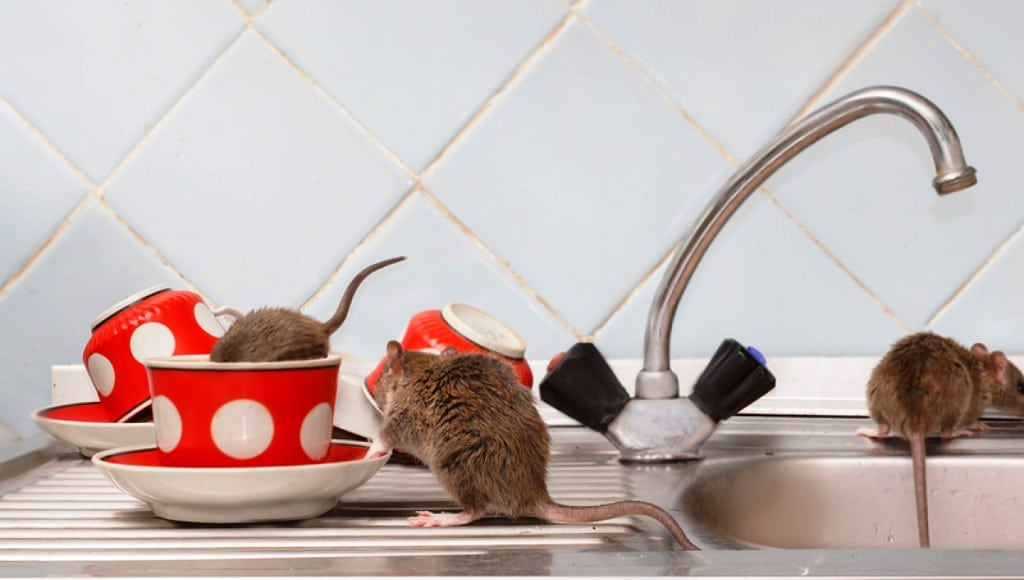 Understanding the Health Implications of Not Having Rodent Control