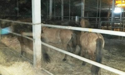 Man Arrested for Selling 44 Horses to an Illegal Slaughter House