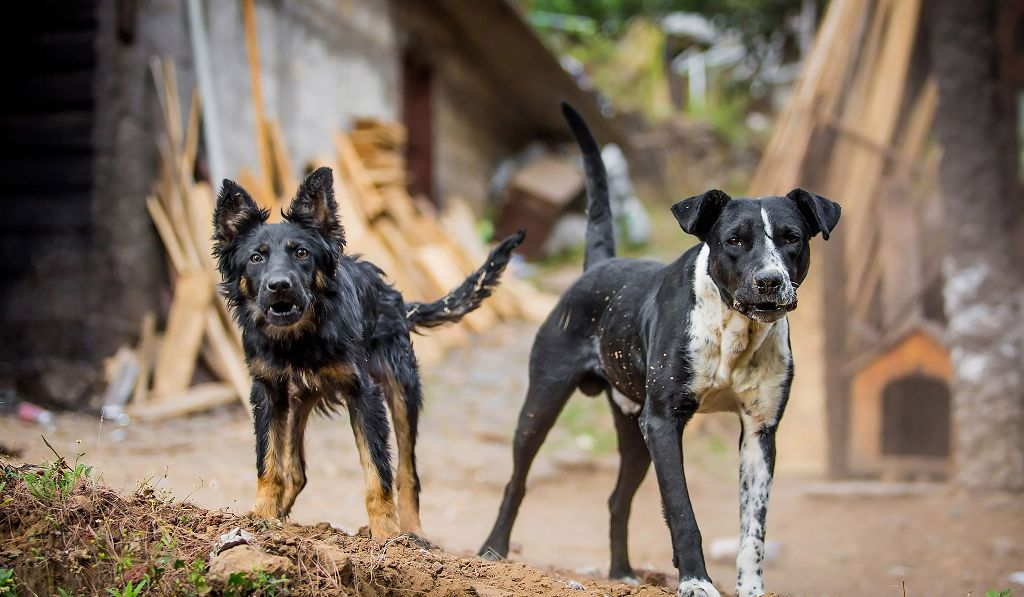 aggression, Aggressive Dogs , behavior