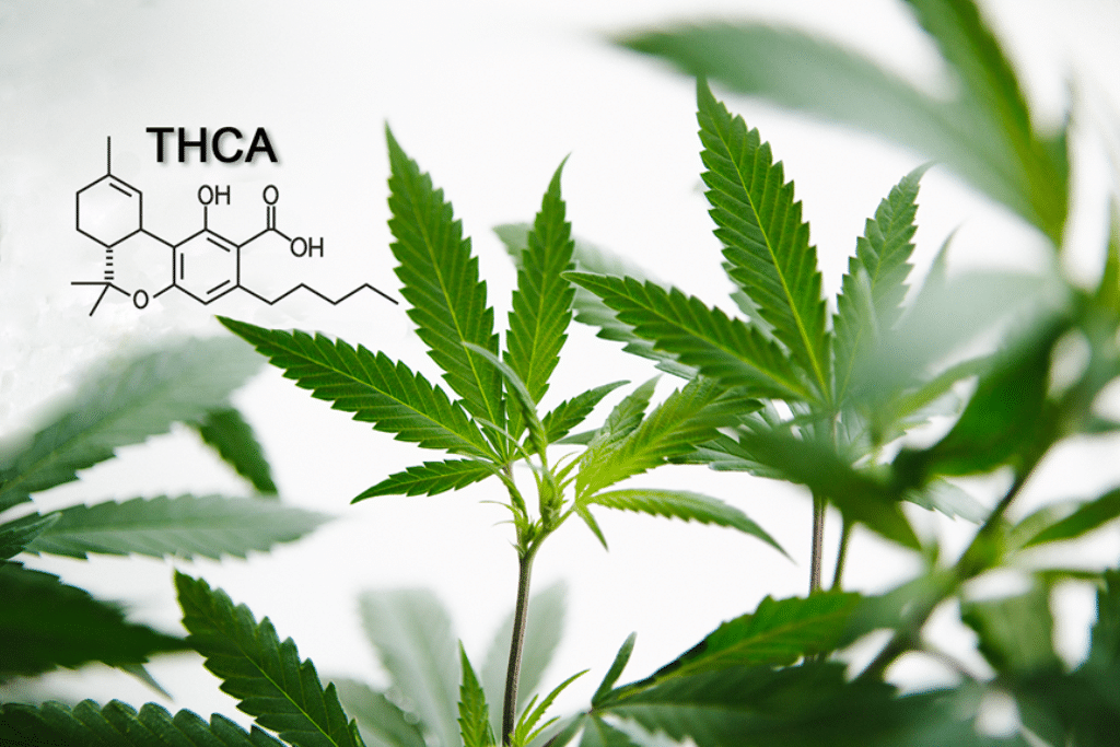 Understanding The Benefits of THCA, a Cannabinoid You May Not Know