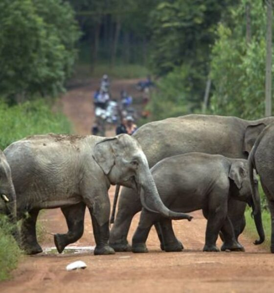 Villagers Beg for Help After Farms Pillaged by Wild Elephants