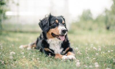 Benefits of Introducing CBD Oil For Pets Into Your Dog's Diet