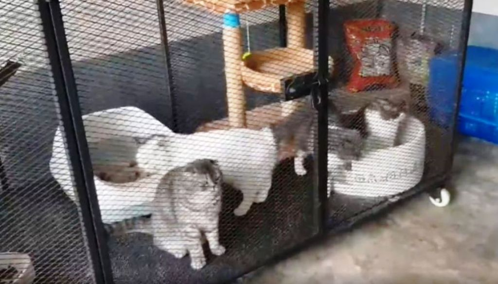 Pedigree Cats Worth Thousands Seized by Thai Police in Drug Raid