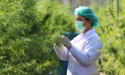 Multipurpose Cannabis Could Light Up Thailand's Economic Engine