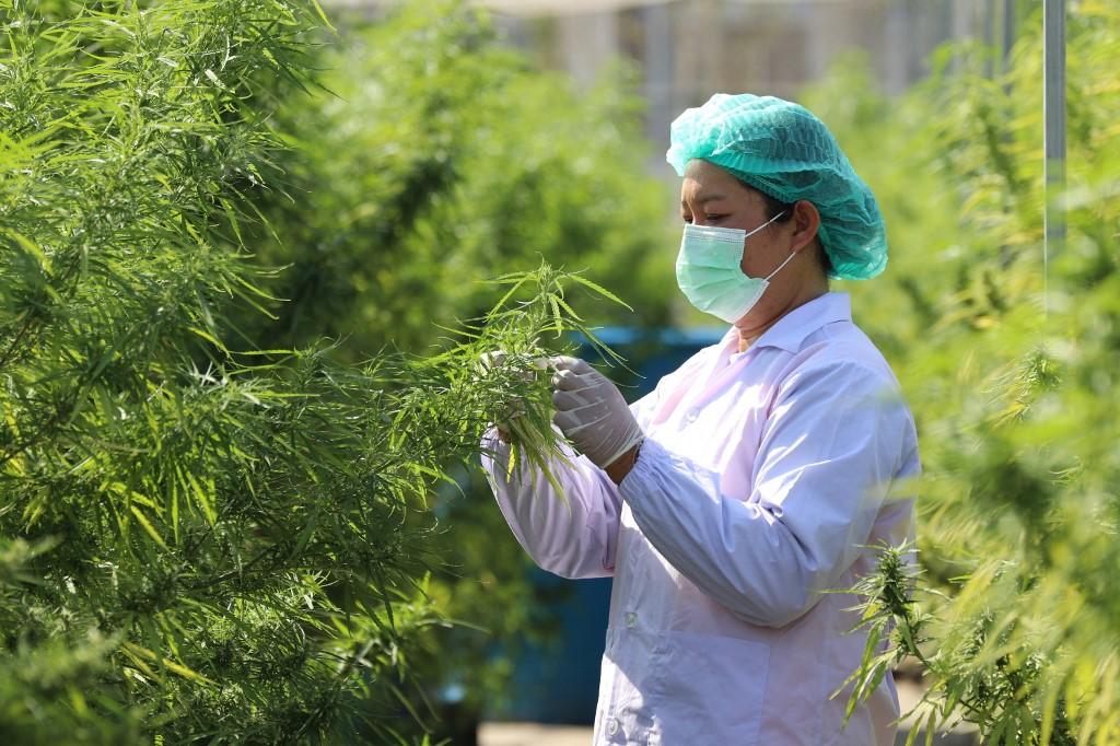 Multipurpose Cannabis Could Light Up Thailand's Economic Engine