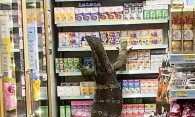 VIDEO: Giant Monitor Lizard Invades 7-Eleven Store in Central Thailand