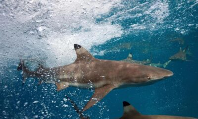 resources, Blacktip Reef Sharks to Get Protected Status after TikTok Shooting Video