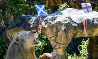 football, Five Year-old Psychic Lion in Thailand Predicts Euro 2020 Matches