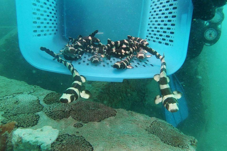 Released brownbanded bamboo sharks
