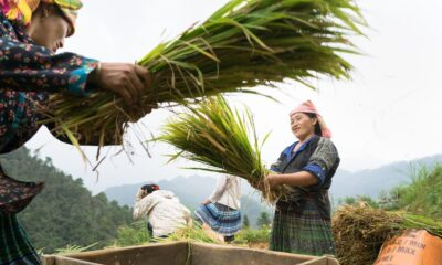 Thailand Rice Production to Rebound after 2 Years of Drought