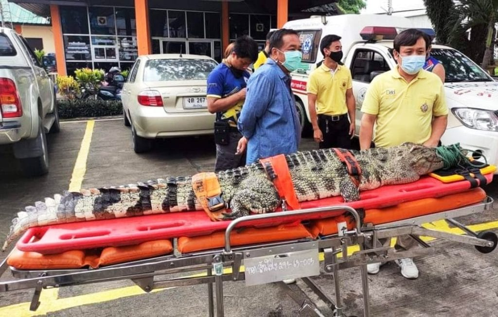 chiang mai,Mushroom Pickers Freakout When They Run Into a Crocodile in Forest