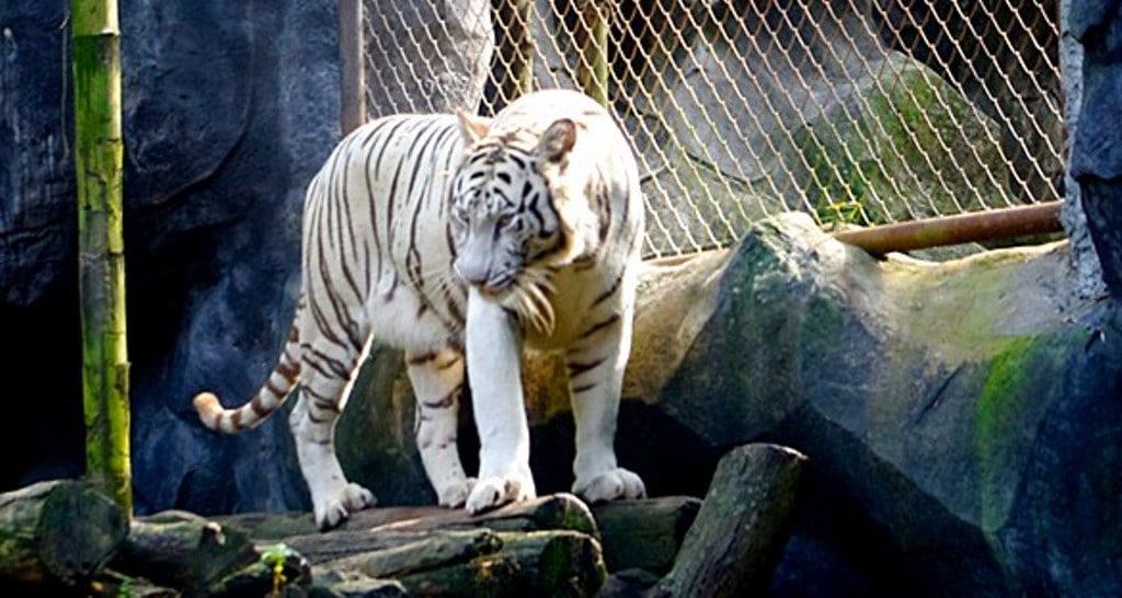 Sriracha Tiger Zoo Closure Forces the Relocate of Thousands of Animals