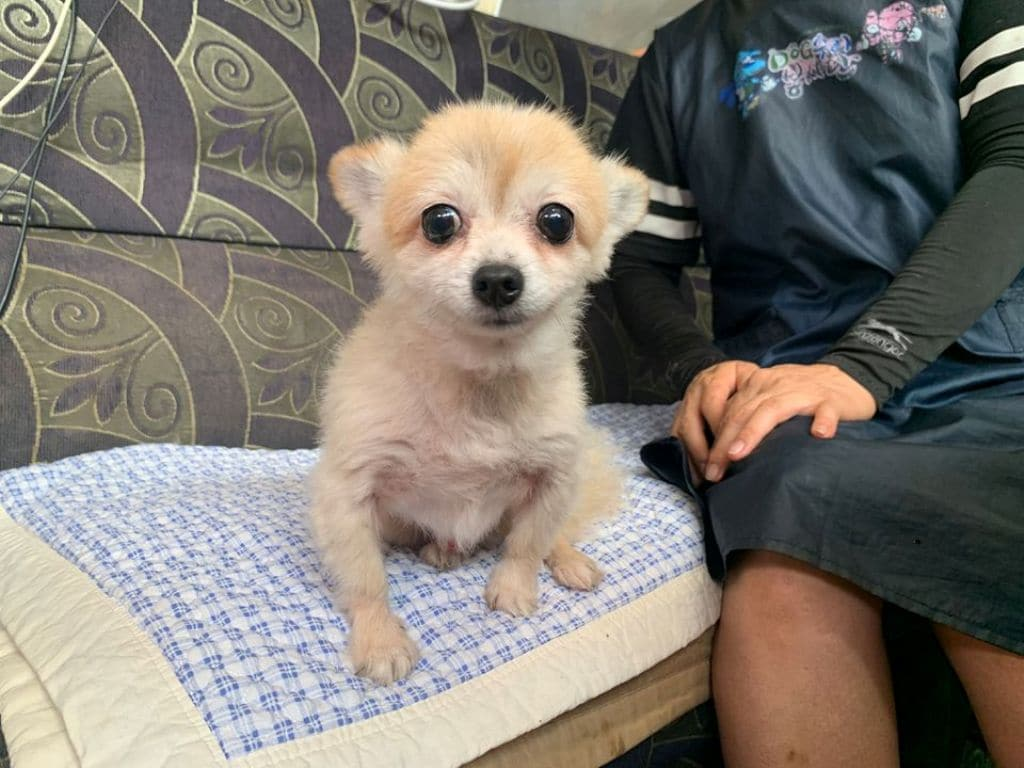 Legal,Pomeranian's Death Leads to Legal Status for Animals in South Korea