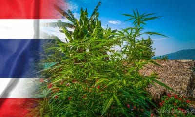 Thailand Plans to Create 4000 Acre Cannabis and Herb Plantation