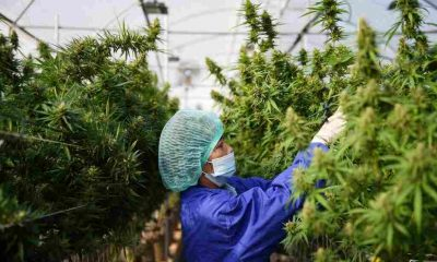 Thailand's Government to Offer Cannabis - Farming -Loans - Thailand