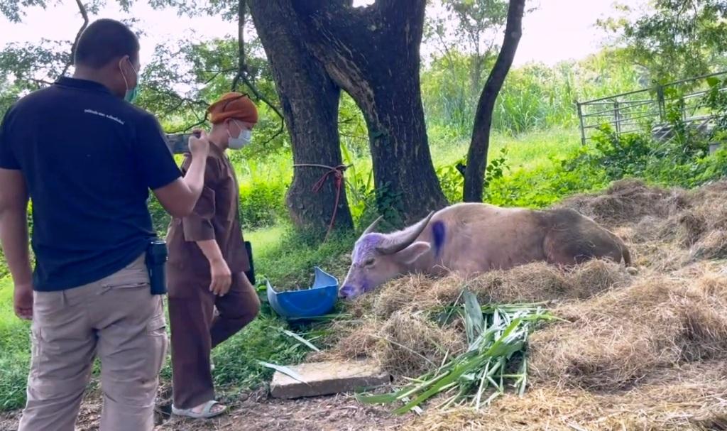 buffalo-chiang mai-police